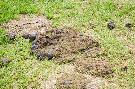 picture of excrement  - closeup dry horse excrement on green grass - JPG