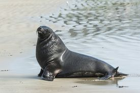 stock photo of curio  - Adult New Zealand sea lion  - JPG