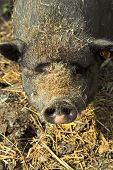 image of pot bellied pig  - head of pot - JPG