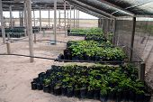 Reforestation in the Amazon: palm tree seedlings in a greenhouse ready to be planted to regrow destr