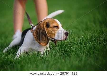 Dog On Green Meadow Beagle