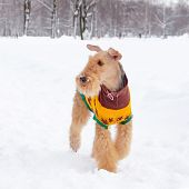 The Airedale Terrier. Young Energetic Dog Walks. Walking Outdoors In The Winter.  How To Protect You poster