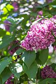 Spring Branch Of Blossoming Lilac poster