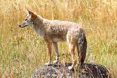 stock photo of coyote  - Western Coyote  - JPG