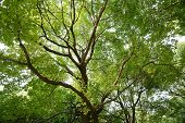 picture of camphor  - Camphor tree - JPG