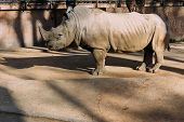 Grey Rino In Zoological Park,  Barcelona, Spain poster