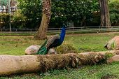 Beautiful Peafowl On Tree Trunk In Zoological Park, Barcelona, Spain poster