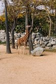 Giraffe Walking Between Trees In Zoological Park, Barcelona, Spain poster