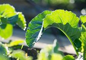 Green Leaves Under Sunlight. A Large Green Leaf In The Garden Under Sunlight poster
