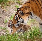Amur Tigress With A Little Tiger Cub. The Amur Or Ussuri Tiger (lat. Panthera Tigris Altaica) Is A S poster