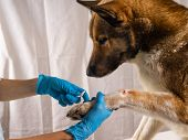 The Vet Treats The Wound On The Dogs Paw. Treatment Dogs Have The Vet. poster
