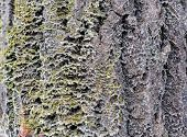 The Bark Of An Old Tree. Larch Bark.. Detailed Bark Texture. Moss On Larch Bark poster