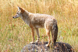 picture of coyote  - Western Coyote  - JPG