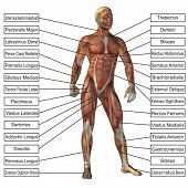 High resolution concept or conceptual 3D human anatomy and muscle isolated on white background as me