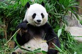 stock photo of pandas  - giant panda bear eating bamboo - JPG