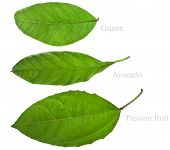 foto of avocado tree  - Collection set of Green Fresh Leaves of Fruit Tree close up macro isolated on white background  - JPG
