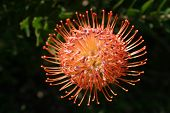 foto of fynbos  - National South African flower called Protea which belongs to the Fynbos family of pant types - JPG