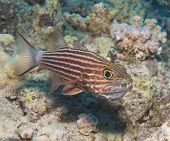 Male Tiger Cardinalfish On A Tropical Reef