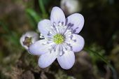 Beautiful White Liverwort Flower