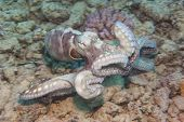 pic of octopus  - Common reef octopus underwater swimming on tropical coral seabed - JPG