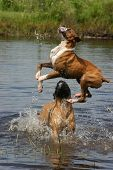 picture of bull-mastiff  - boxer dog jumping into a pond with a bull mastiff - JPG