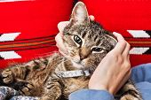 stock photo of blue tabby  - A tabby cat being stroked by a woman - JPG