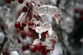 Frozen branch of mountain ash