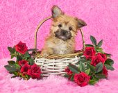 stock photo of yorkie  - A very sweet Yorki - JPG
