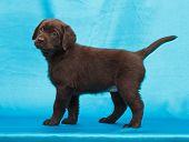picture of chocolate lab  - chocolate labrador retriever puppy  - JPG
