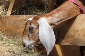 pic of cashmere goat  - A Young Goat is eating hay for dinner - JPG