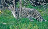 picture of panthera uncia  - Color image of a Snow Leopard  - JPG