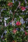 picture of honeysuckle  - closeup of a honeysuckle plant covering a wall for a natural privacy fence
