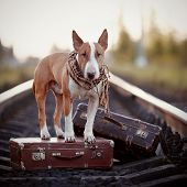 picture of dog-house  - The bull terrier looks for the house. The dog waits for the owner. The lost dog. Bull terrier on the road. Dog on rails. Dog with suitcases.