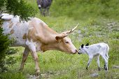 picture of longhorn  - Tender moment between a female longhorn cow and her newborn calf - JPG
