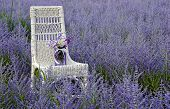 stock photo of purple sage  - Purple mason jar with flower bouquet on a white wicker chair in a field of purple Russian sage.