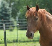 stock photo of horse face  - Beautiful chestnut horse face portrait in a summer meadow - JPG