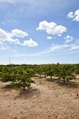 picture of valencia-orange  - Orange orchard - JPG