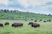 stock photo of grassland  - large wild american buffalo herd in the grasslands of South Dakota - JPG