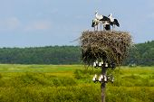 stock photo of stork  - Young storks - JPG