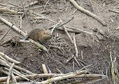 pic of beaver  - Baby Beaver on beaver dam in pond - JPG