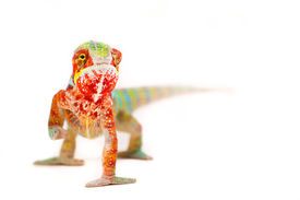 picture of chameleon  - Picture of a chameleon on a white background - JPG