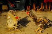 picture of rooster  - Traditional balinese blood sport - Rooster fight