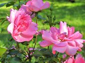 image of lilac bush  - Beautiful blooming pink roses - JPG