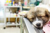 foto of intravenous  - illness puppy with intravenous drip on operating table in veterinarian - JPG