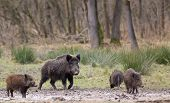 pic of boar  - Wild boars looking for food in winter time