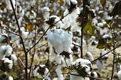 pic of boll  - A Closeup Look at a Cotton Boll in the Field - JPG