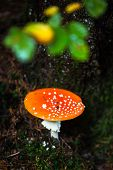 picture of toadstools  - Nice toadstool by the tree in the forrest - JPG