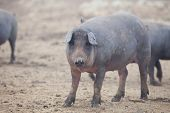 pic of farrow  - Black Iberian pigs running free - JPG