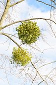 image of significant  - Viscum album or mistletoe is a hemiparasite on several species of trees it has a significant role in European mythology legends and customs - JPG