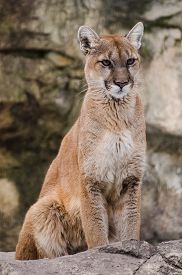 picture of cougar  - A mature cougar staring into the distance - JPG